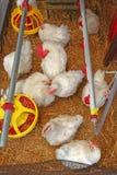 Cage de poulets photographie stock libre de droits