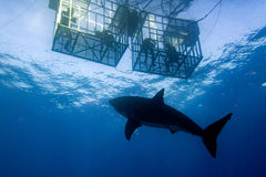 Cage dive with Great White shark ready to attack. Great White shark while coming to attack you on deep blue ocean background Royalty Free Stock Photo