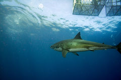 Cage dive with Great White shark ready to attack Stock Images