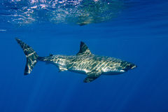 Cage dive with White shark ready to attack Royalty Free Stock Photos
