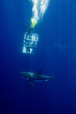 Cage dive with White shark ready to attack Stock Image