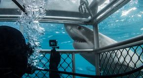 Cage diving with a Great White Shark royalty free stock photos