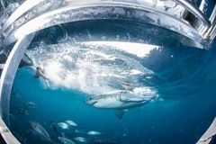 Cage diving with the Great White Shark, Western Australia royalty free stock photography