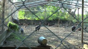 Cage for extensive breeding of turkeys Meleagris, pheasants, helmeted guineafowl Numida and other poultry. Breeding for. Cage for extensive breeding of turkeys stock video footage
