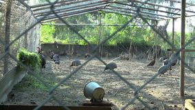 Cage for extensive breeding of turkeys Meleagris, pheasants, helmeted guineafowl Numida and other poultry. Breeding for. Cage for extensive breeding of turkeys stock video