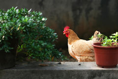 Cage free rooster Royalty Free Stock Photo