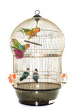 Cage with lovebird Stock Photos