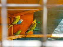 Cage with many multicolored budgies from inside. Image taken through the bars of the cage to produce a foreground blur. Budgerigar zoo funny sit toy indoors stock photography