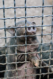 cage pigen Fotografering för Bildbyråer