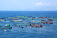 Cage salmon farm in southern Chile, fish Royalty Free Stock Photo