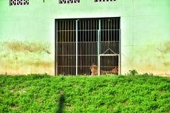 Cage tiger Stock Photos