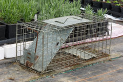 Cage type humane rat trap. Steel humane rat trap set up in a garden nursery stock photo