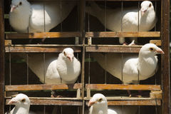 Cage with white pigeons. Sticking out heads from the twigs of grate royalty free stock photo