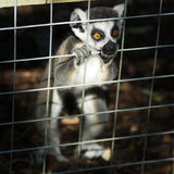 Caged!. Young Marmoset looks through his cage at freedom Stock Image