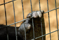 Caged. Close of a Gorilla's hand or foot with dry cracked skin, clutching a wire fence stock photo