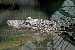 Caged Alligator Royalty Free Stock Photos