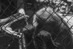 Caged ape. Look of Sadness of a solitary ape and caged in bad conditions stock photo