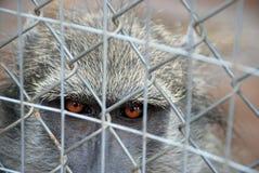 caged baboon Royaltyfria Bilder