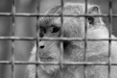 Caged baboon looking pensive in a cage Stock Photos