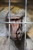 Caged Baboon Stock Images