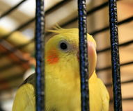 Caged Bird. A close up on a caged cockatiel bird behind bars Royalty Free Stock Photo