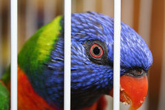 Caged Bird. Swanson Lorikeet In a Cage Stock Image