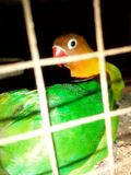 Caged Birds royalty free stock images