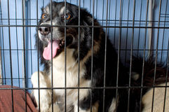 Caged Border Collie Royalty Free Stock Photo