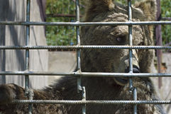 Caged brown bear. Hungry brown bear caged in an asian zoo Stock Image