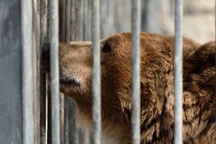 Caged European brown bear at Baku zoo, Azerbaijan Royalty Free Stock Images