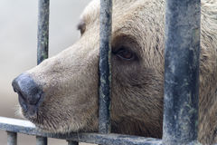 Caged brown bear Stock Photos