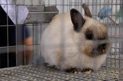 Caged Bunny. Bunny rabbit in the small animal exhibit Royalty Free Stock Image