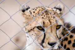 Caged cheetah Stock Photos