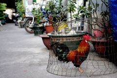 Caged Chicken on City Street royalty free stock images