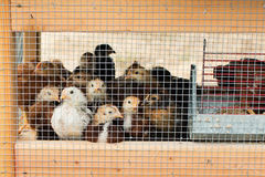 Caged chickens. A group of baby hens in a cage Royalty Free Stock Image