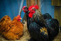 Caged chickens. A group of chickens in a cage Stock Image