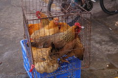 Caged chickens Stock Photo