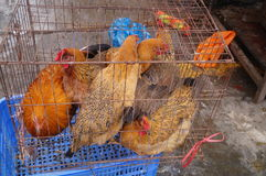 Caged chickens Royalty Free Stock Photography