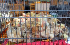 Caged chicks sold at the market stock photos