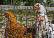 Caged chikens Stock Image