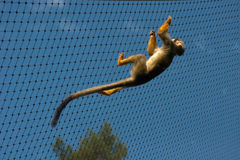 Caged common squirrel monkey Stock Photo