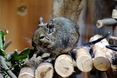 Caged Degu eating leafs. Photo of a caged Degu eating leafs royalty free stock photography
