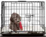 Caged dog with broken leg Royalty Free Stock Photos