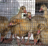Caged ducklings Stock Images