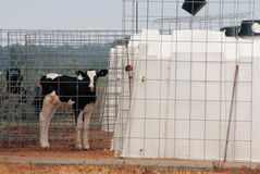 Caged Farm Animal Stock Image