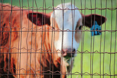 Caged Farm Animal Royalty Free Stock Photography