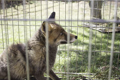 Caged fox Stock Images