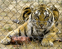 Caged Fury. Tiger guarding his dinner and staring very ferociously thru the wire Stock Image