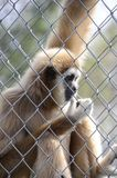 Caged gibbon Royalty Free Stock Photography