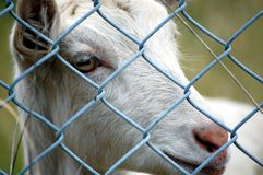 Caged goat Royalty Free Stock Photography